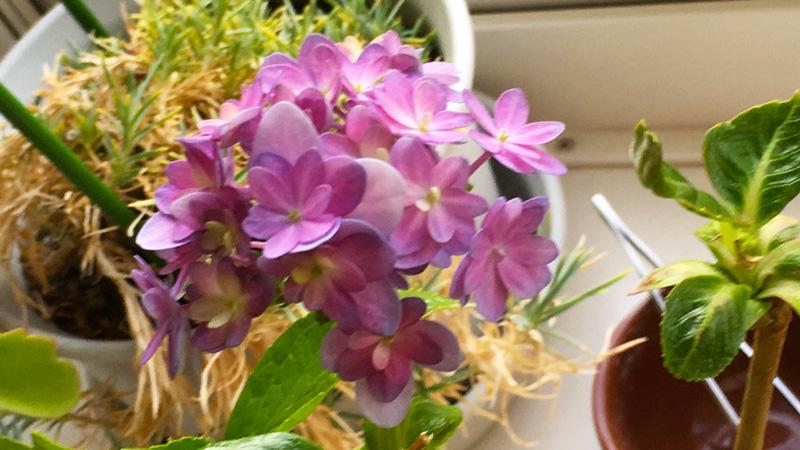 こんなに寒いのに、窓辺の鉢植え アジサイ が花を咲かせてくれました! 鶏卵大の大きさですが、嬉しいです。